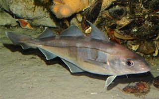 Рыба пикша: польза и вред морской обитательницы. Пикша: что это за рыба
