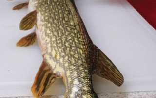 Как снять шкуру со щуки и разделать рыбу. Как снять кожу с целой рыбы