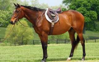 Как называется лошадиный шаг аллюр средней скорости. Максимальная скорость лошади. Виды бега лошади. Скаковые лошади