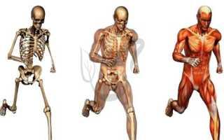 Функции смешанных костей. Кости и их соединения