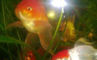 Память золотой рыбки 3 секунды. Память рыбы – три секунды или больше? Как работает память рыб