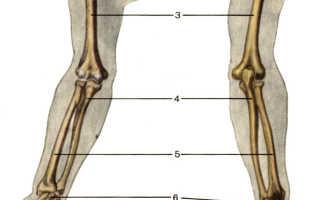Подробный скелет человека. Скелет верхней конечности. Функции скелета верхних конечностей