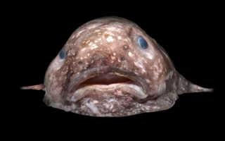 Рыба капля интересные факты. Рыба капля — таинственная рыба, ее видео и фото