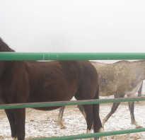 Как объезжают молодых лошадей. Как объездить лошадь. Как определить, что пора заезжать лошадь