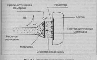 Нервно мышечные соединения и синапсы. Функции синапсов и нервно-мышечных соединений. Определение рефлекса. Компоненты рефлекторной дуги