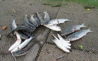 Сорт рыбы лобань чем болеет. Рыба лобань семейства кефалевых. Особенности питания и нерестового периода
