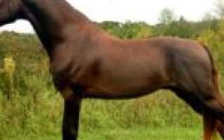 Породы лошадей: лошадь морган. Морганы Лошадь породы морган
