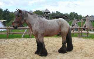 Бельгийская лошадь. Бельгийские тяжеловозы (брабансоны). Испытания силы и выносливости