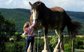 Самые большие, мощные и высокие лошади мира. Самая сильная и выносливая лошадь, лучшие рекордсмены