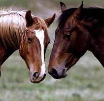 Мустанг – дикая лошадь. Дикая лошадь мустанг