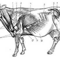 Мышцы головы коровы. Мышцы головы и шеи