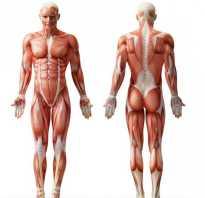 Каковы основные функции скелетных мышц у человека. Строение скелетной мышечной ткани. Виды мускулатуры по частям тела