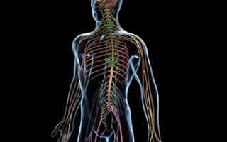 Соматическая нервная система. Строение и функции соматической нервной системы